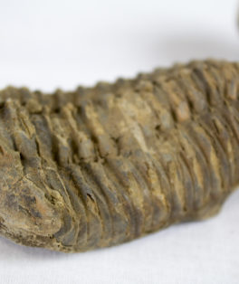 largetrilobitefossil-compress